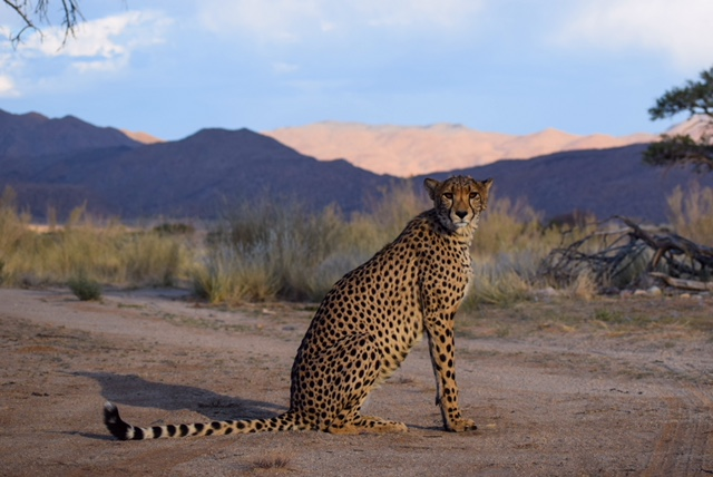 cheetah sitting with grass and mountains in background